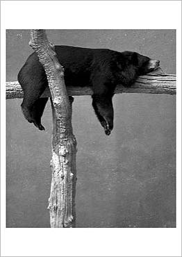 Ursus Thibetanus - Asiatic Black Bear, Vykort