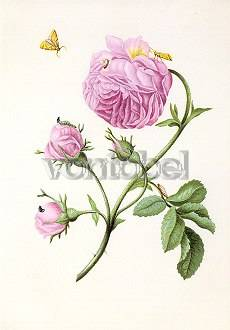 Bush Rose with Moth, Larva and Chrysalis (c. 1679), Postcard