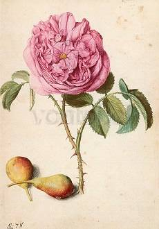 Rose and two Pears, Postcard