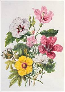 Mallow Plants (1849), Postcard