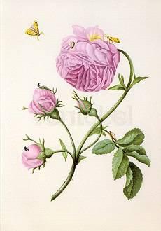 Bush Rose with Moth, Larva and Chrysalis (c. 1679), Greeting Card