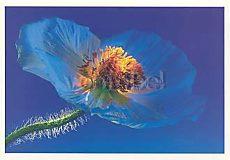 Poppy, Greeting Card