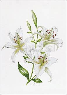 White Lily, Greeting Card