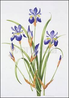 Iris sibirica, Greeting Card