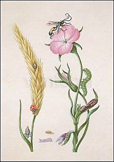 Wheat Ear with Ladybird, ..., after 1683, Postcard