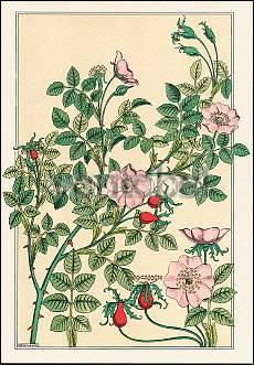 Wild Rose (1896), Greeting Card