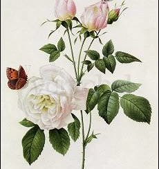 Redouté/Rosa Bengale The Hymenee, Postcard