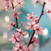 Cherry Blossom, Vykort