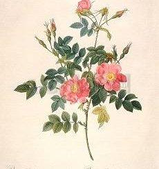 Rosa Rubiginosa flore semipleno, Greeting Card