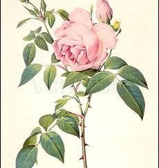 Rosa Indica fragrans, Greeting Card