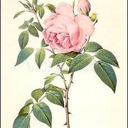 Rosa Indica fragrans, Greeting Card