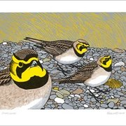 Shorelarks, Greeting Card