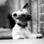 Jock the Fox Terrier,looking wistful,1945, Greeting Card