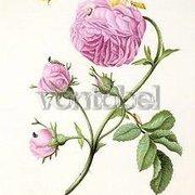 Bush Rose with Moth, Larva and Chrysalis (c. 1679), Postcard