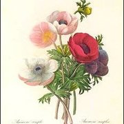 Redouté/Anemone Simplex (1835), Postcard