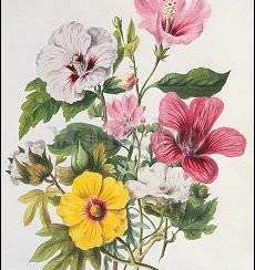 Mallow Plants (1849), Postcard