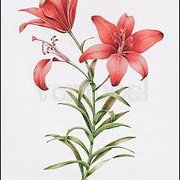 Red Lily II, Greeting Card