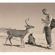 Deer, Postcard