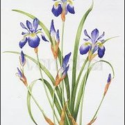 Iris sibirica, Greeting Card