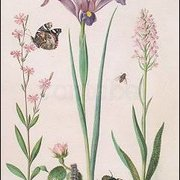 Catchfly with Admiral, small Rose with Inchworm, Iris, Monkey Orchid, Hoverfly and Jewel Beetle, Postcard