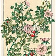 Wild Rose (1896), Greeting Card