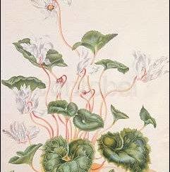 White Cyclamen, Postcard