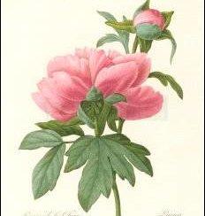Peony/ Paeonia, Greeting Card