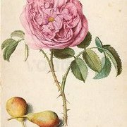 Rose and two Pears, Greeting Card