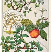 Apple Tree, Fruits and Flowers (c. 1900), Greeting Card