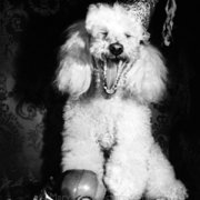 Poodle with party hat, Greeting card